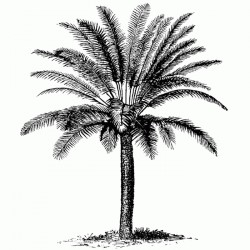 Bushy Palm